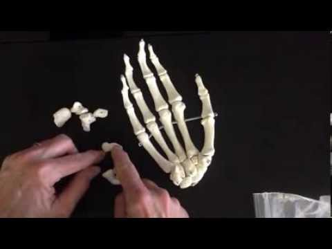 Prof. Wilson on the bones of the forearm and hand See all Prof. Wilson videos