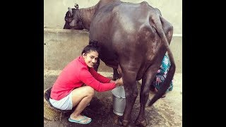 vuclip village life 2 young woman mother and daughter buffalo milking by hand hd viral video