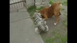 Shih Tzu Boxer Fight Funny Lol