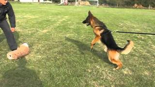 German Shepherd Protection Dogs Training - Bite Work And Long Attack - Male Tayson