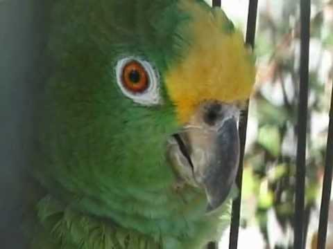 Lachender Papagei