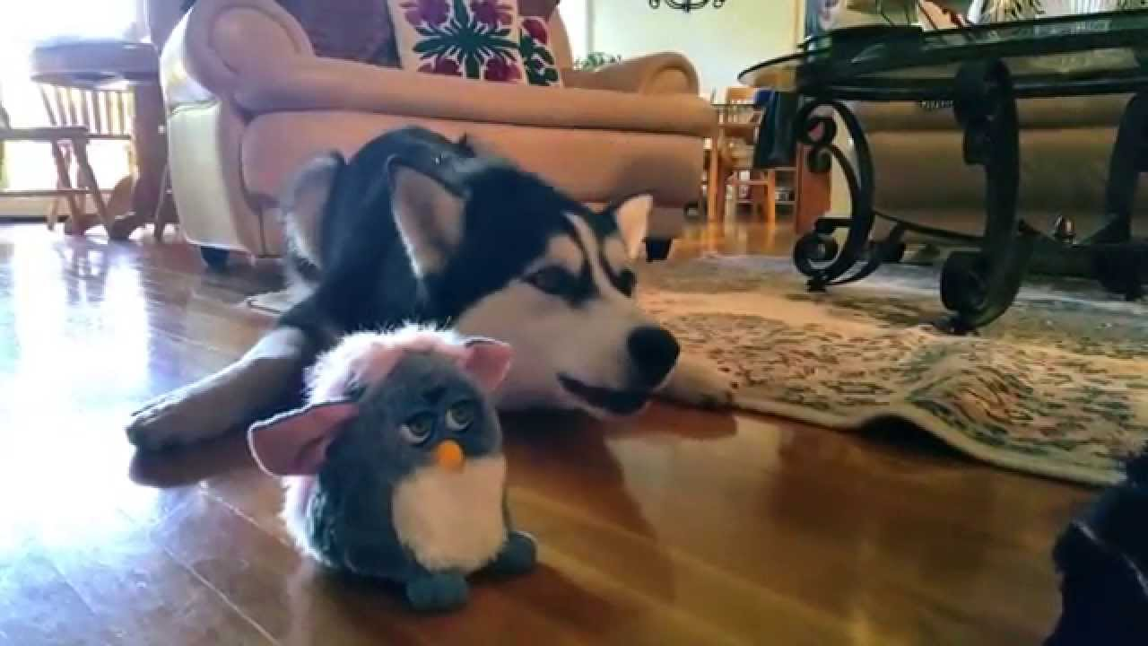 Cute Siberian Husky Still Afraid Of Furby 8 Months After Max S