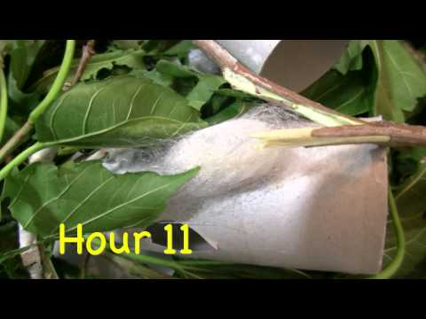 Silkworm Spins Cocoon time lapse