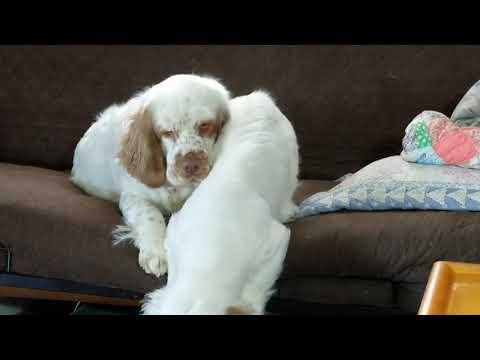 Relentless Clumber puppy