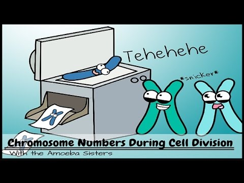 Chromosome Numbers During Division: Demystified!