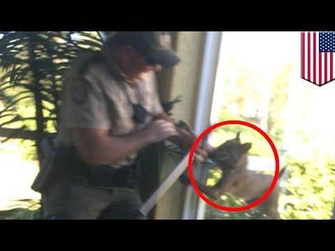 Bobcat attacks: video shows rabid bobcat attacks wildlife officer in Florida home - TomoNews