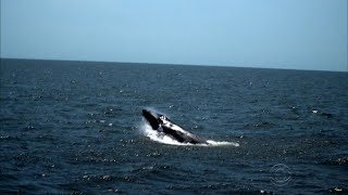 Humpback whales make a comeback in New York City