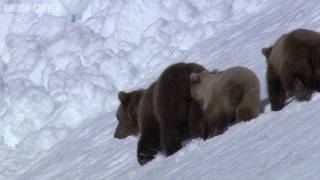 HD: Grizzly Bears Negotiate Snowy Mountains - Nature