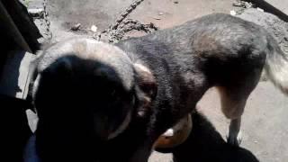 Собака Валет помесь волка и хаски