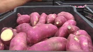 Conheça a produção de batata doce em Rondônia