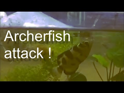 The Archerfish Catches A Fly