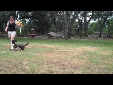 Flirt Pole Demo for Dogs