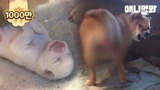 미처 몰랐습니다 엄마가 된 녀석에게도 엄마가 필요했다는 것을.. l After Birth, A Mother Dog Starts To Bite Her Own Tail