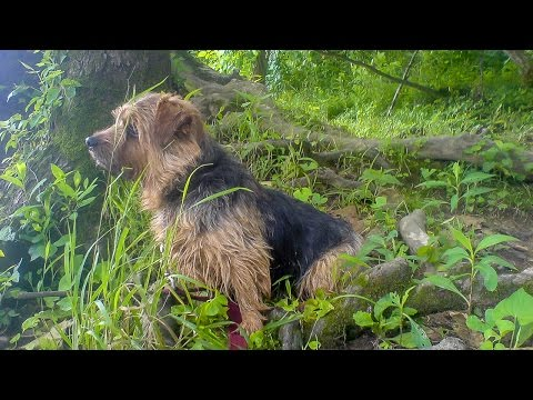 Norfolk Terrier Otto's Way Revisited