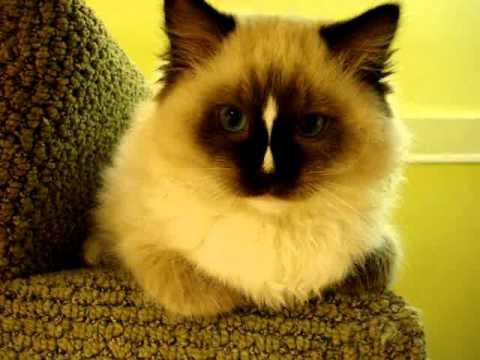 Ragdoll Kitten on Stairs - ラグドール - Floppycats