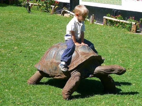 Animales Montando Tortugas ✔ Te Vas A Morir De La Risa Con Esto – Videos De Risa De Animales
