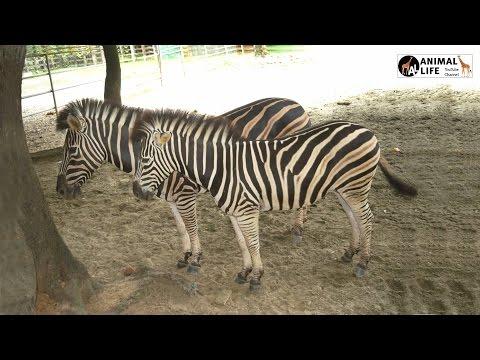 Zebra LIVE | Animal Adventure Park Zebra Cam LIVE | YouTube Live