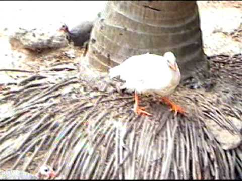 Hibrido Gallina De Gunea X Gallus Gallus Mpg Youtube