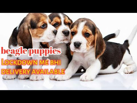 Delivery available ! Pure quality and heavy bone beagle puppies