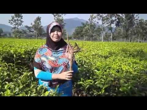 Benalu teh hijau ASLI harga Rp.30.000 | 085659344517 khasiat manfaat obat kanker kista miom