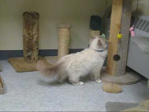 Sky the Ragdoll - Adopted!