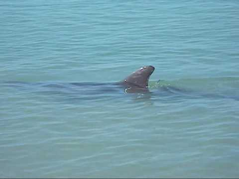 Southwest Florida Dolphins Off Vanderbilt Beach In Naples