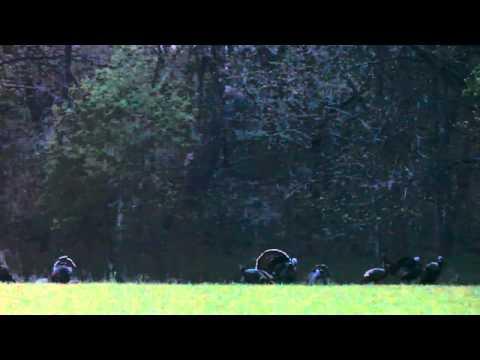 Sunrise with eastern wild turkeys