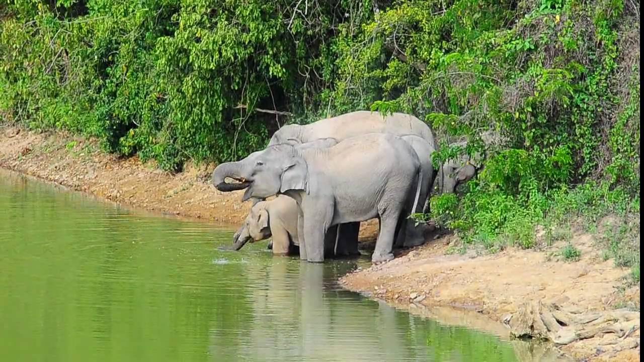 wild asian elephant pranpop photos youtube