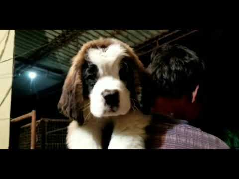 Saint Bernard Heavy Showline Puppy for Sale in India. St Bernard Puppies available.