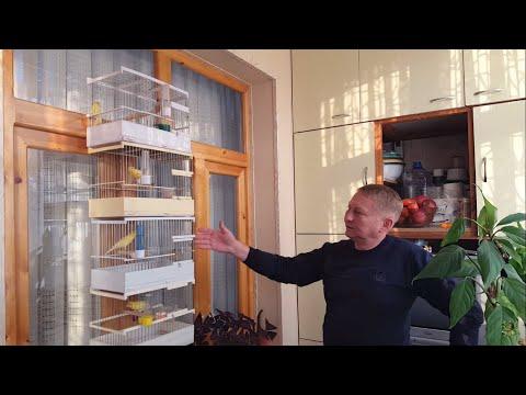 Канарейкалар. Андрей Гавриленко хонадонида. В гостях у Андрея Гавриленко