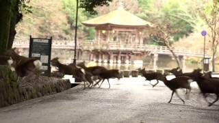この数年、奈良公園の芝が荒れています。 その原因はシカではなくイノシ...