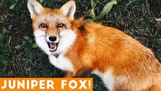 Funniest Juniper Fox Video Compilation | Funny Pet Videos