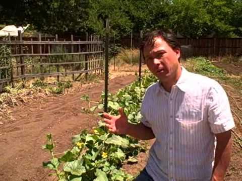 Urban Vegetable Gardening in Sacramento and Harvesting Artichoke Pollen