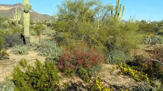 An example of a Natural Sonoran Desert Landscape