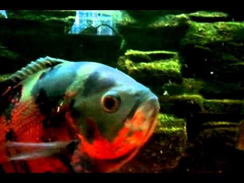 Oscar fish eating other fish the boss of the tank youtube for Fish that eat other fish