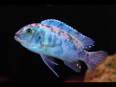 FISH PROFILE : COBALT BLUE OB ZEBRA AFRICAN CICHLID