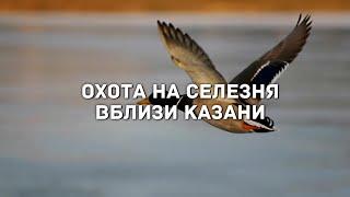 Охота на селезня вблизи Казани