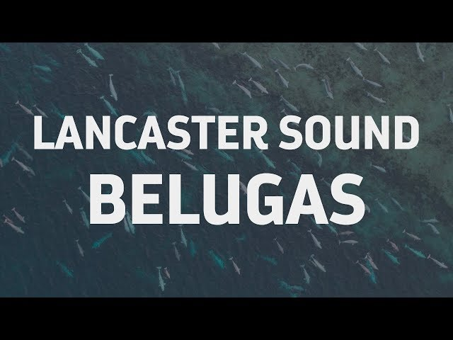 Listen to Belugas in Canada's Largest MPA Lancaster Sound