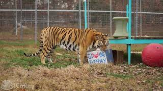 Big Cats are Ready for Giving Tuesday at Turpentine Creek Wildlife Refuge: Three Weeks Until