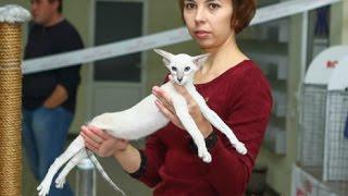 Сиамский Котенок на Выставке,  Породы Кошек