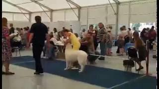 Мареммо-абруцкая овчарка Сильвер Хаус Лючин
