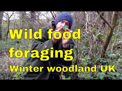 Wild food foraging in British woodland - winter greens