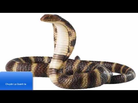 giải mã giấc mơ thấy rắn hổ mang tại kqxsmb.info