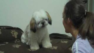 Cute Shih Tzu - Training And Fun Videos