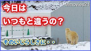 【ホッキョクグマの知的行動】飼育員さんたちをお見送りするリラ/安定の腕力 Polar Bears Life