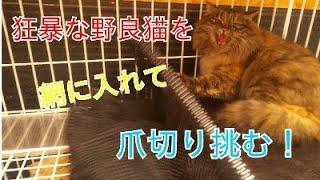 超狂暴な野良猫を慣らす訓練!16日目  この猫は爪切りをさせてくれるのか?