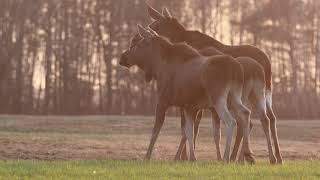 Rewilding Oder Delta: the Elk comeback
