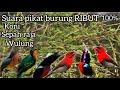 Suara Pikat Burung Ribut Konin Sepah Raja Kalebri Wulung  Mp3 - Mp4 Download