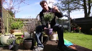 Planting a Lavender in a Container