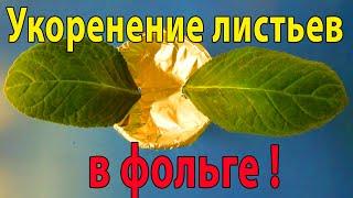 🌼Укоренение листа глоксинии с помощью Фольги ! Поддержка для листа🌼🌱How to grow gloxinia part №26